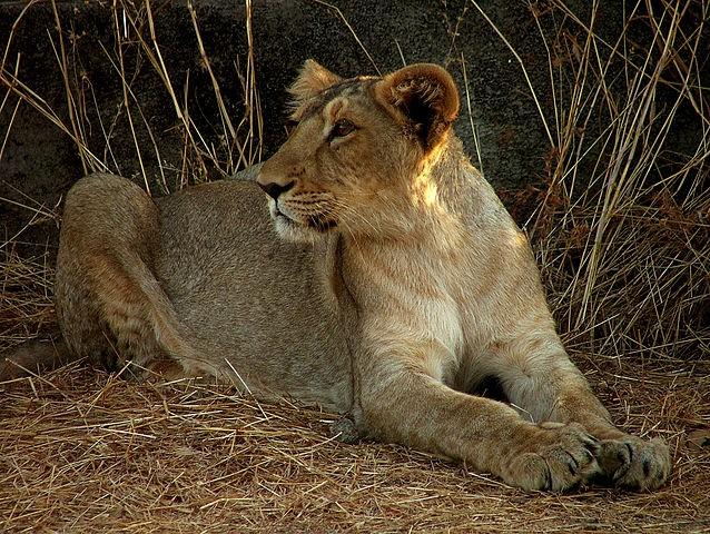亞洲獅 (照片來源:Wikipedia / CC BY 2.0)