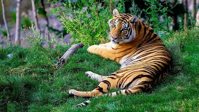 孟加拉虎 (照片來源:pixabay)