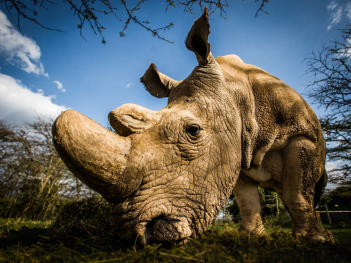 Sudan, the world's last male northern white rhino, in Kenya before his death in 2018. (Photo Credit: Andrew Wegst for WildAid)