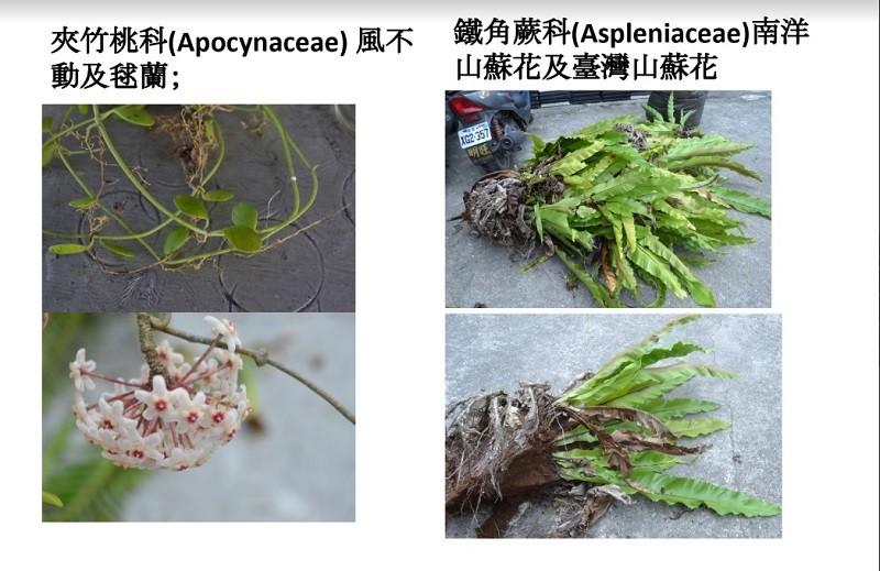 上圖為部分附生植物 (圖片來源:傅春旭研究室)