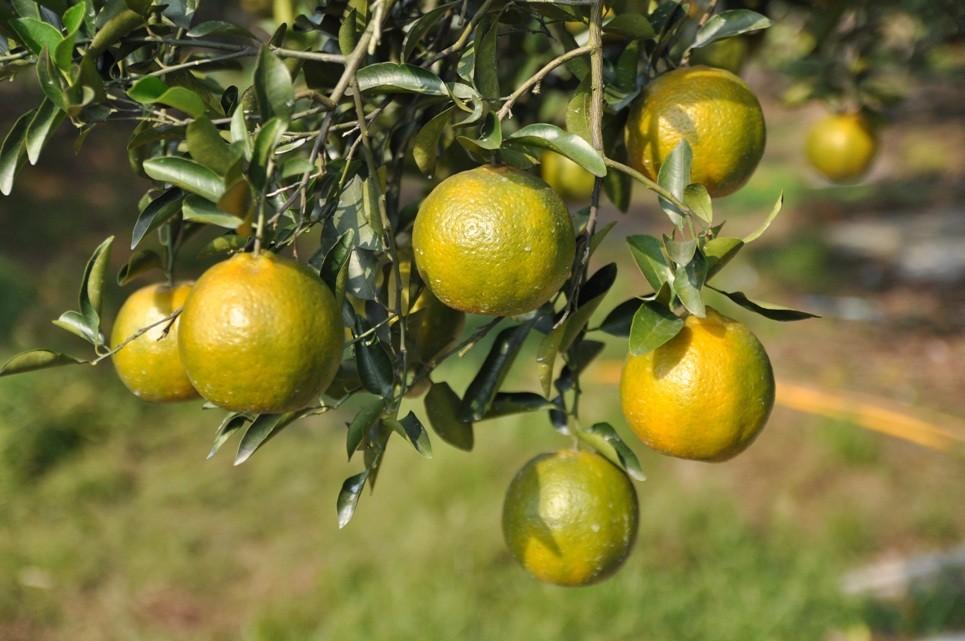 椪柑。(照片來源:農糧署)