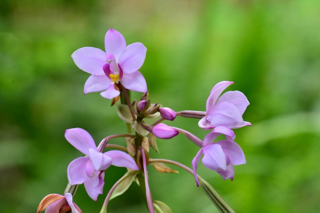 紫苞舌蘭(照片來源:特生中心 / 李權裕攝)