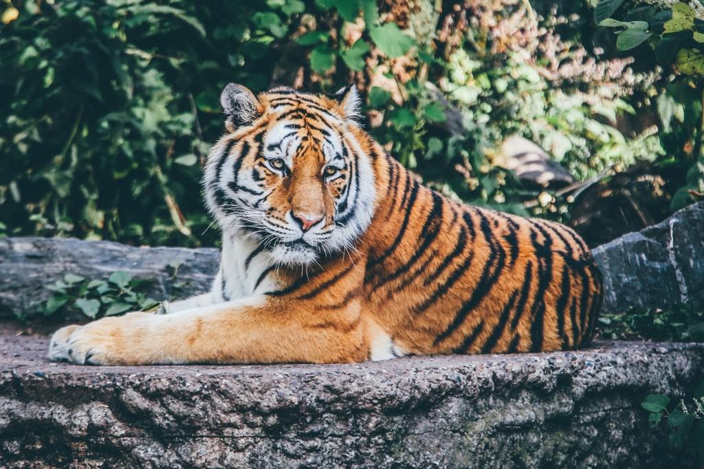 動保團體呼籲歐盟禁止老虎商業交易。