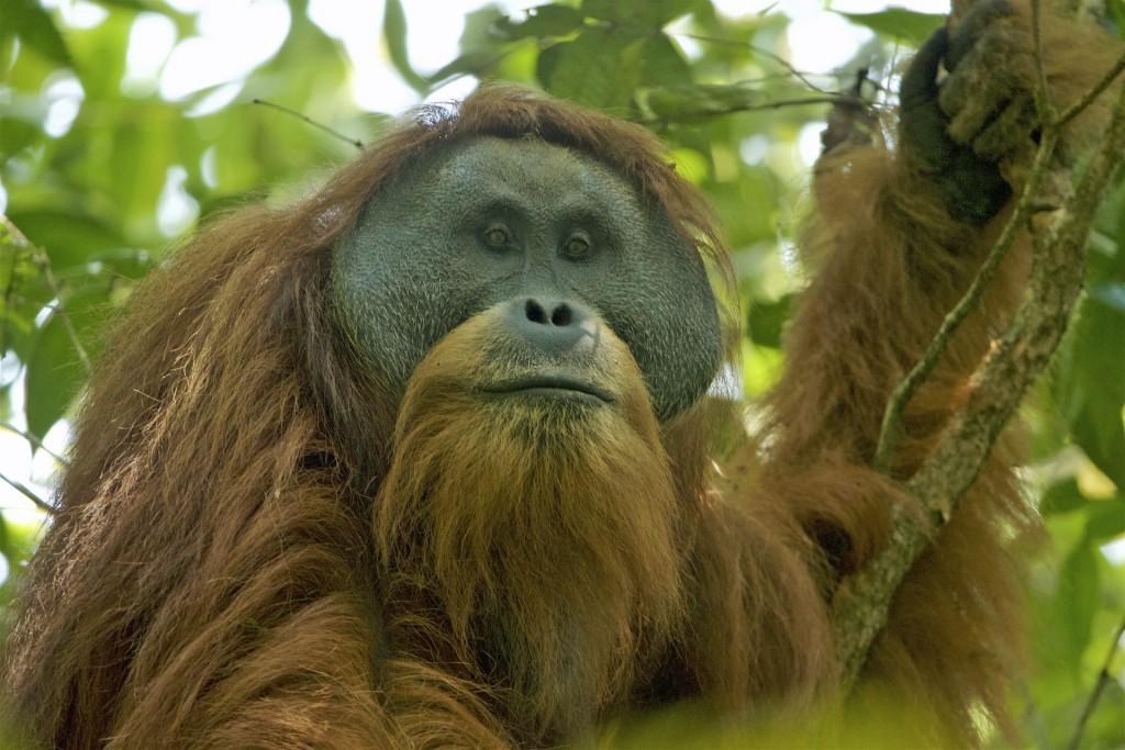A Tapanuli orangutan (Image from Wikipedia)