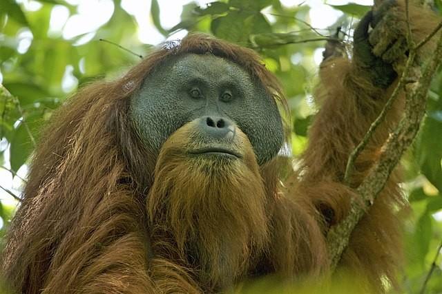 打巴努里猩猩(Pongo tapanuliensis)