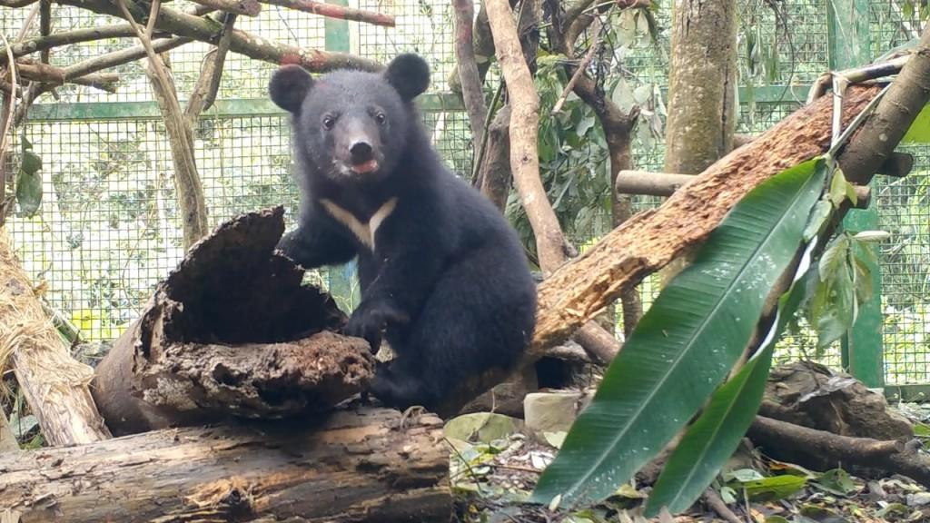 南安小黑熊妹妹健康長大了。(照片由林務局提供)