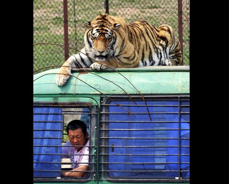 中國哈爾濱西伯利亞虎飼養場(美聯社)