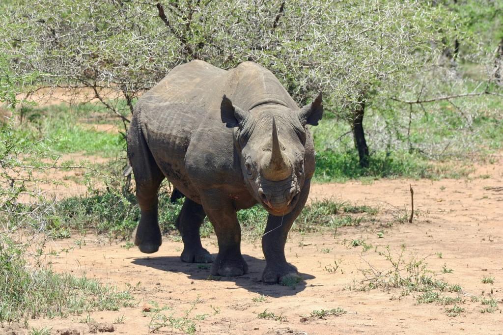 黑犀牛。(照片來源:pixabay)