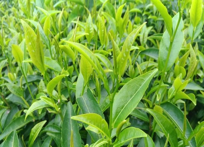 永康野生山茶。(照片由農委會茶改場台東分場提供。)