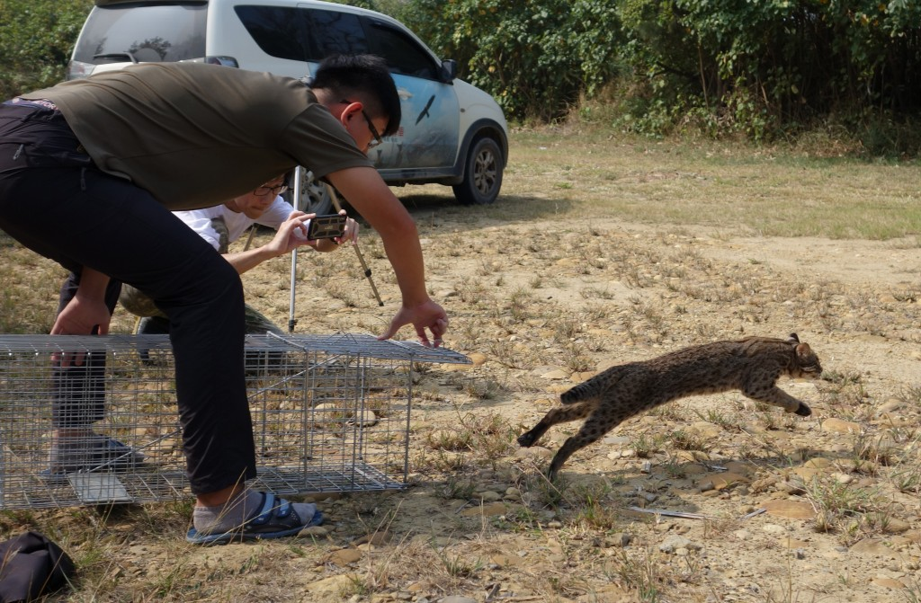 Miaoli released 4 leopard cats back into the wild.