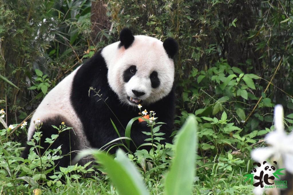 大貓熊「圓圓」會去把東西叼到大家看得到她的地方吃起來。(照片來源:台北市立動物園)