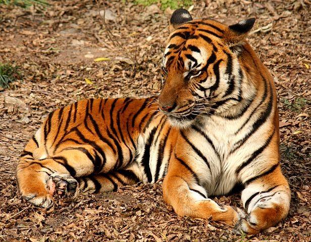 華南虎 (Panthera tigris amoyensis)