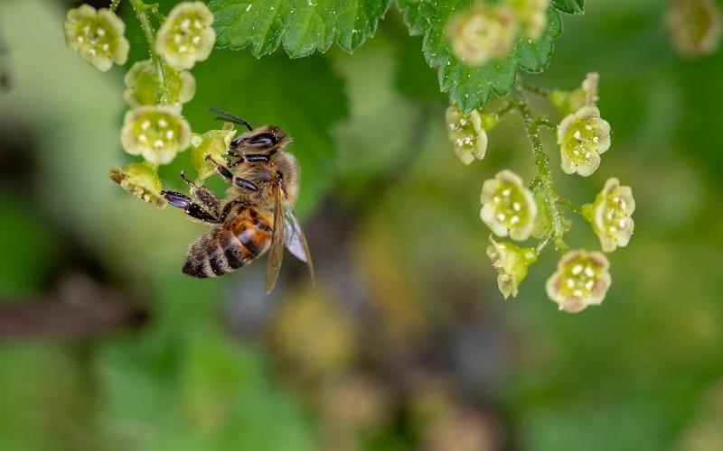 蜜蜂採蜜(圖/Pixabay)