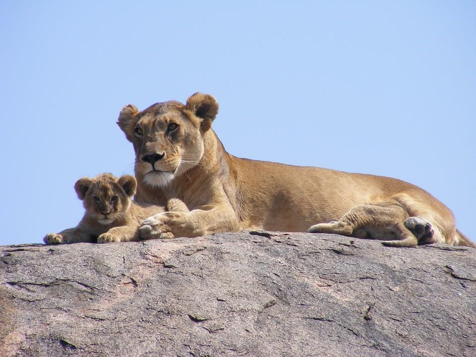 母獅與小獅。(照片來源:pixabay)