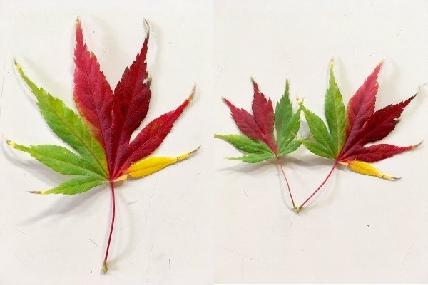 Tri-colored leaves. (Images from Twitter user @komorozoo)