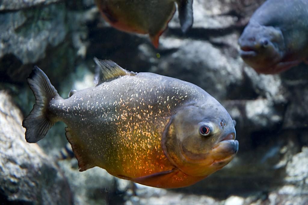 紅腹食人魚慘遭塑膠汙染。(維基百科)