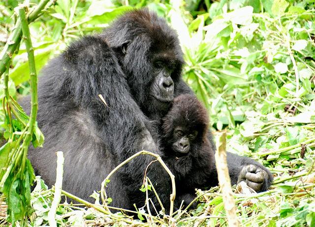 山地大猩猩。(CC BY-SA 2.0)