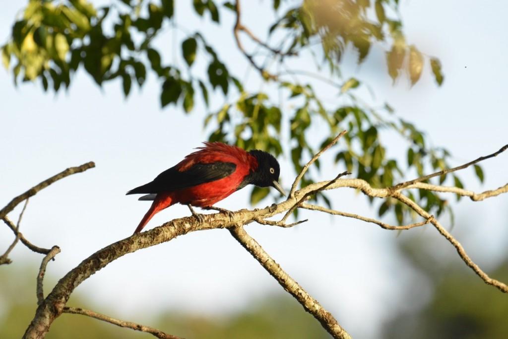 朱鸝雄鳥全身羽色為鮮紅及黑色