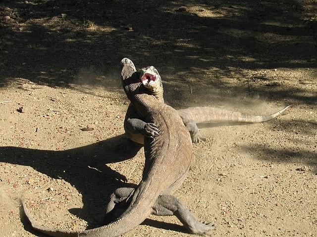 科摩多巨蜥 (Varanus komodoensis;CC BY-SA 4.0)