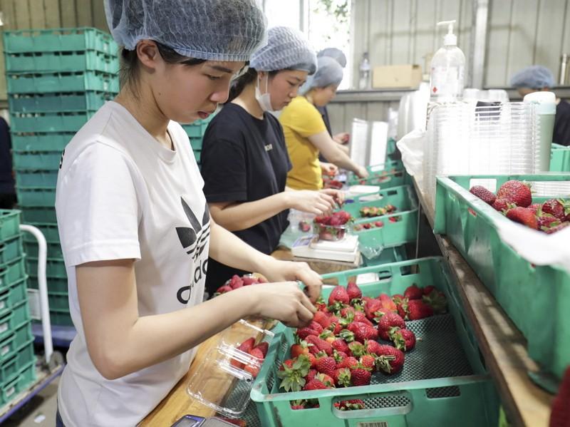 澳洲昆士蘭草莓工廠(圖/美聯社)