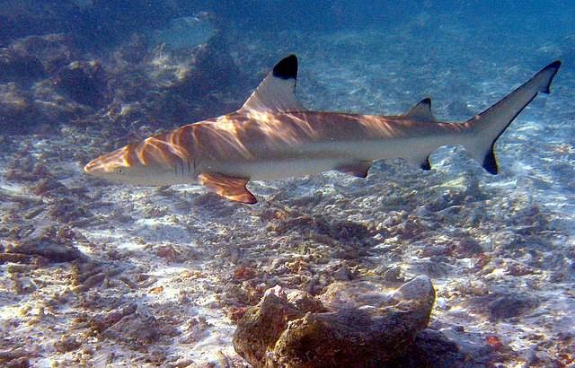 烏翅真鯊(Carcharhinus melanopterus)