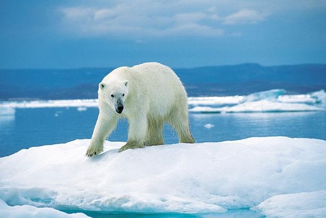 北極熊 (Ansgar Walk/CC BY 2.5/Wikipedia)