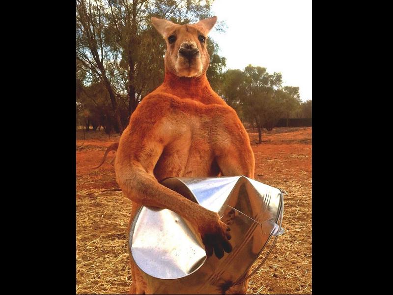 澳洲猛男袋鼠羅傑過世(圖/臉書@thekangaroosanctuary)