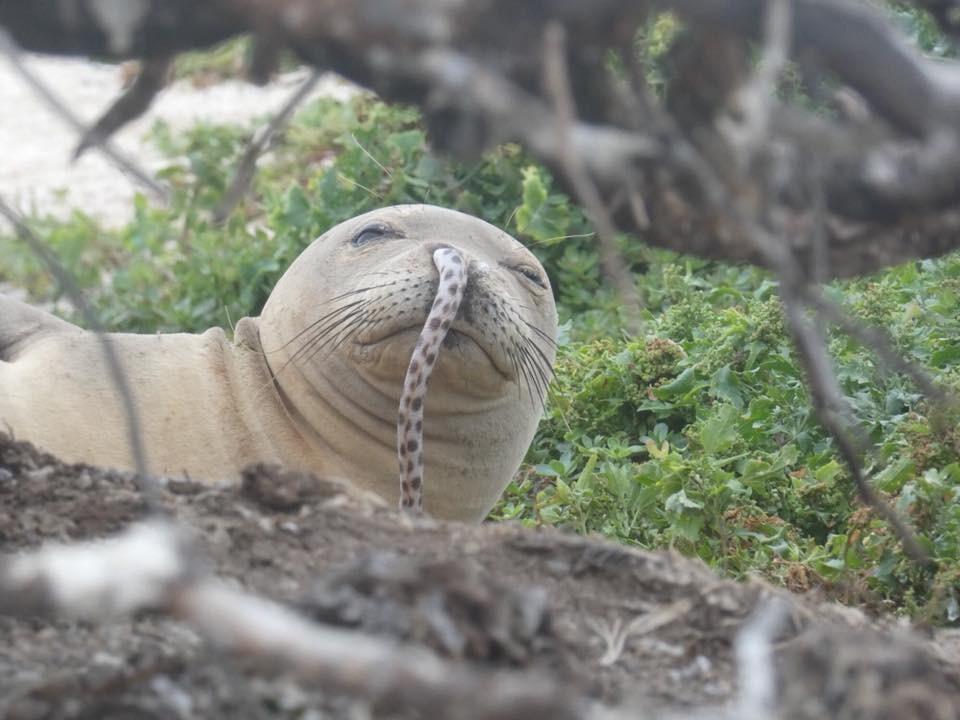 圖片來源:Hawaiian Monk Seal Research Program