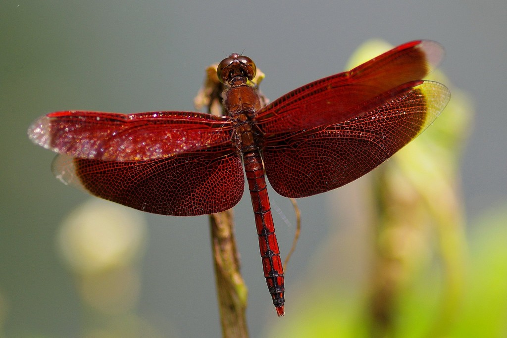 Crimson-colored dragonfly. (Photo by Twitter user @tiida4d)