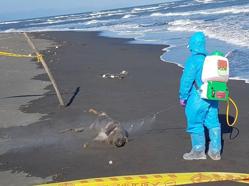 Inspectors found a dead pig on a beach in Yilan County, initially raising fears about African swine fever.