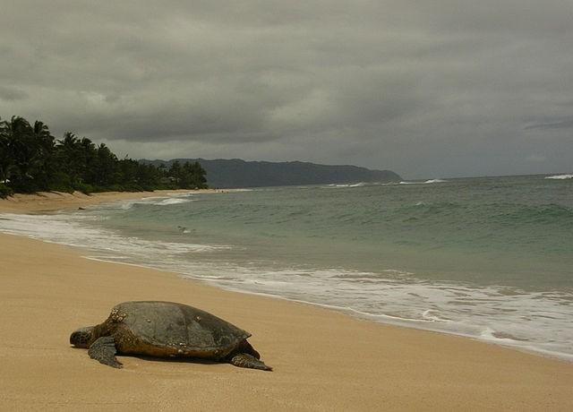 綠蠵龜(Chelonia mydas)