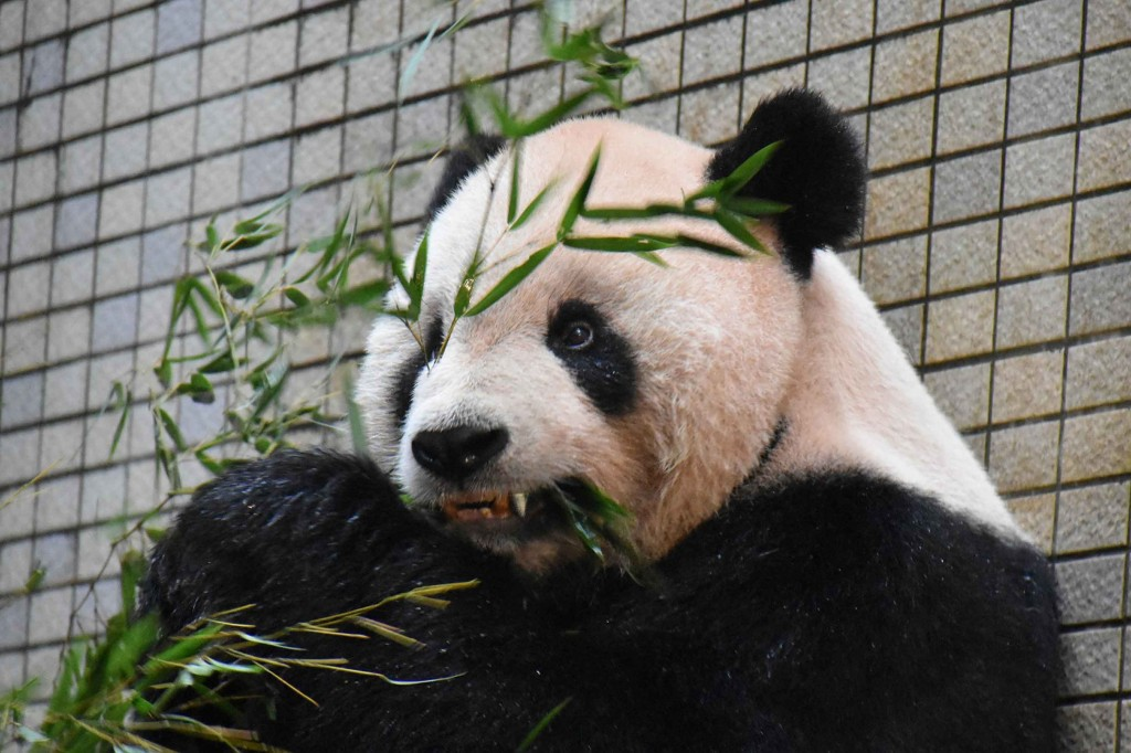 Tuan Tuan (image from Taipei Zoo).