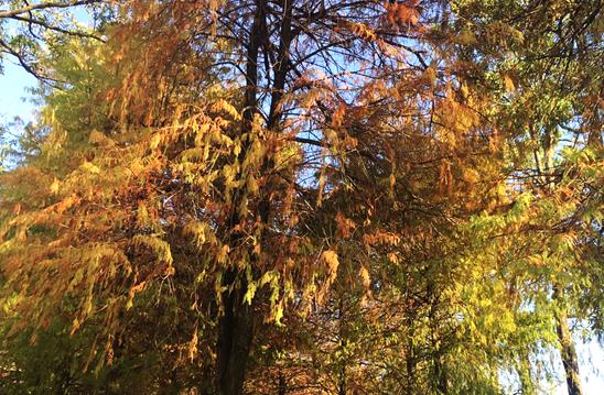 A secret place to enjoy colorful deciduous pine trees: Taipei's Jhihcheng Park