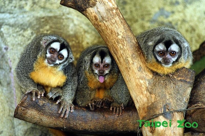 Azara's night monkeys (Photo courtesy of Taipei Zoo)