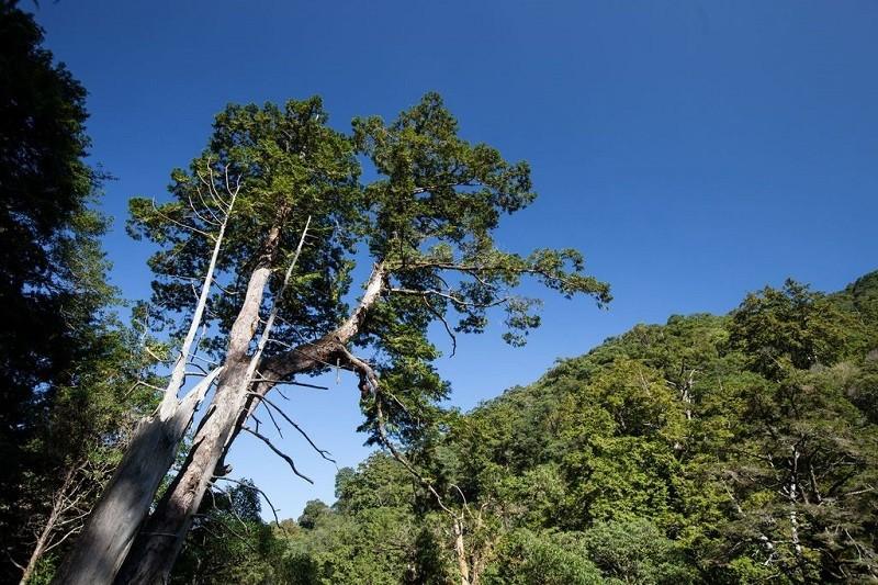 Most awe-inspiring natural wonder in N. Taiwan: Towering red cypress trees on Taoyuan's Lala Mountain