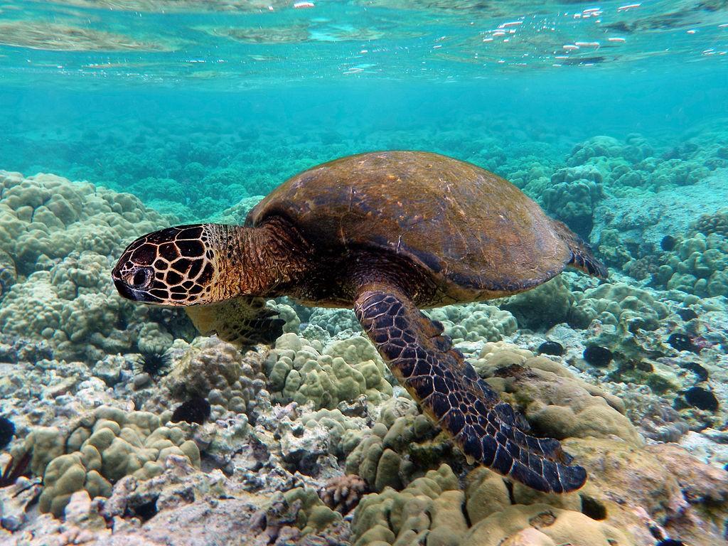 A green sea turtle local to the region (Wikipedia image)