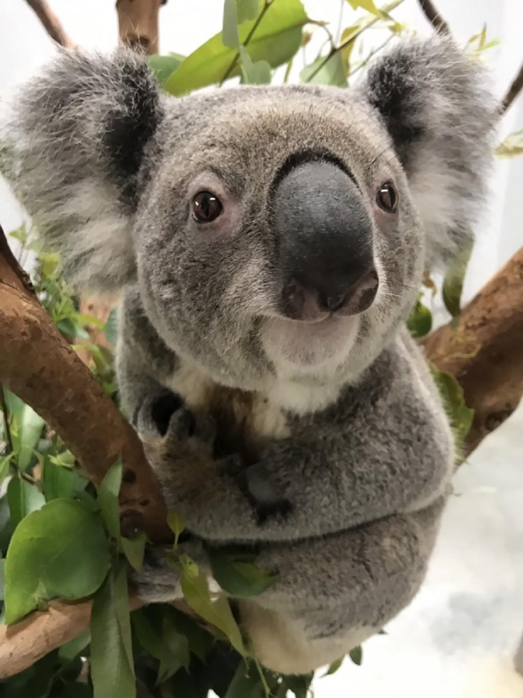 Taipei Zoo's newest koala, Wolverine.