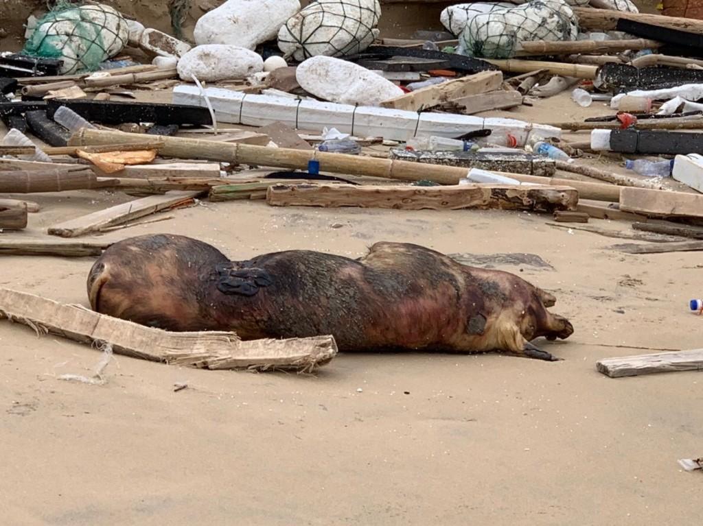 非洲豬瘟備受矚目,金門田埔海域31日漂來一隻死豬。