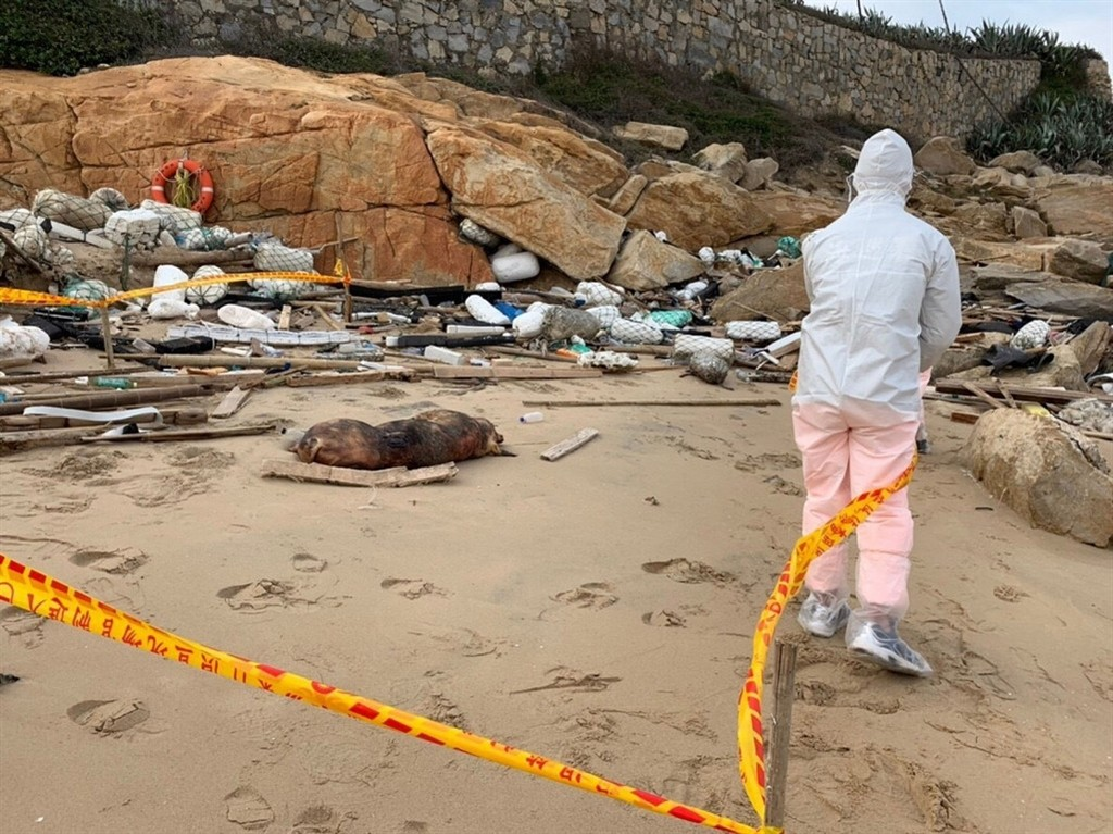 A dead pig found on a Kinmen beach tested positive for African swine fever (photo by Kinmen coast guard).