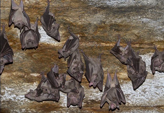 The Rousettus leschenaultii species of Fruit Bat