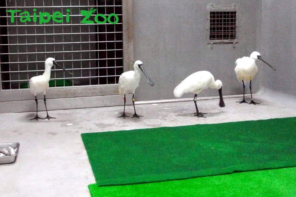 Four black-faced spoonbills depart from Tokyo and arrive in Taipei on Jan. 7 (Source: Taipei Zoo)