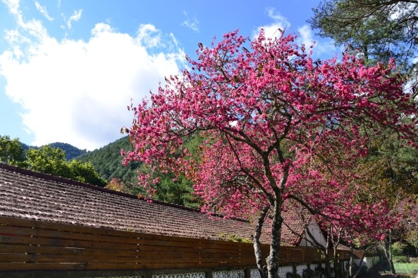Cherry blossoms at Wuling Farm.