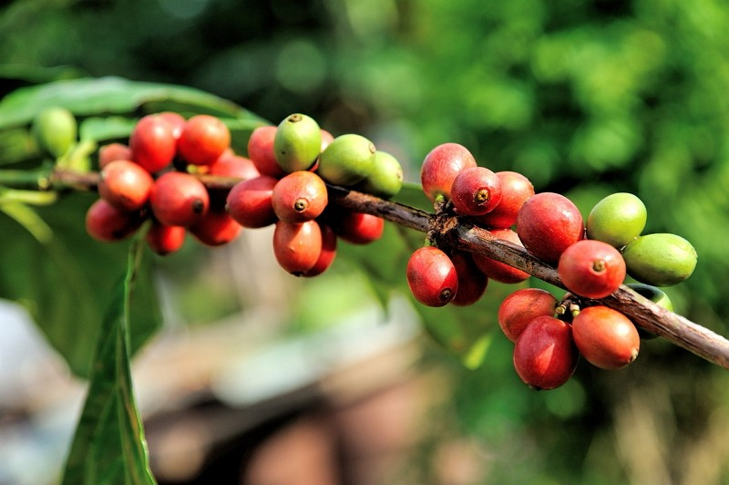 阿拉比卡咖啡樹(圖/Pixabay)