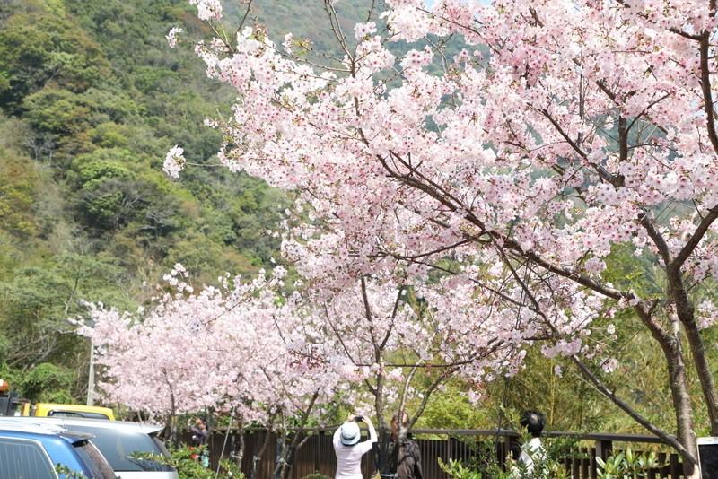 Cherry blooms on Beiheng Highway (Photo/Taoyuan Travel website)