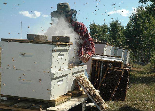 養蜂人檢查蜂場