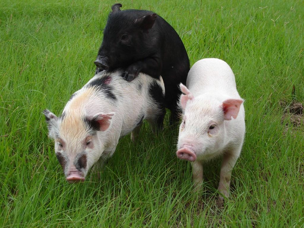台東種畜繁殖場的生醫用小型豬。(照片由農委會提供)