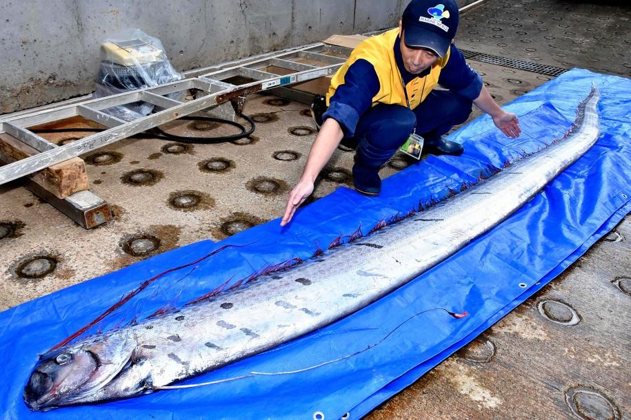An oarfish caught off eastern Japan