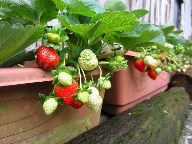 白石湖休閒農業區溫室草莓(圖/台北產發局)