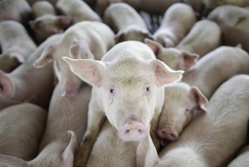 豬隻(美聯社資料照)