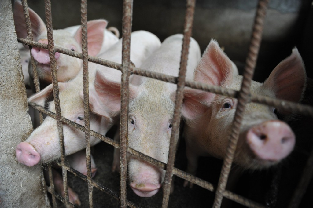 15,000 pigs at affected farms are to be culled